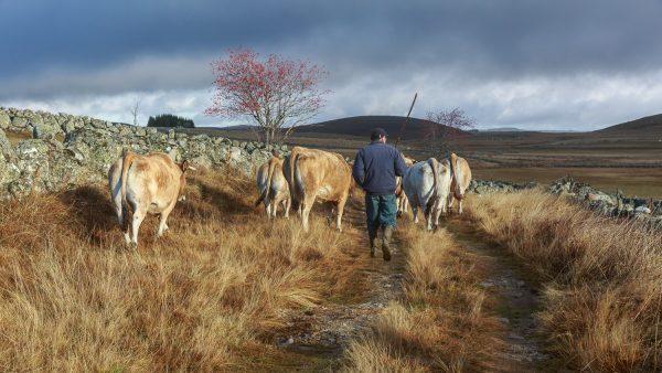éleveur et son troupeau sur un chemin , couleurs d'automne en Aubrac