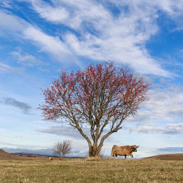 couleurs d'automne en Aubrac, vache de race Aubrac