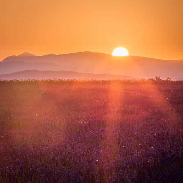 Lever de soleil sur champ de lavande en fleur, Provence