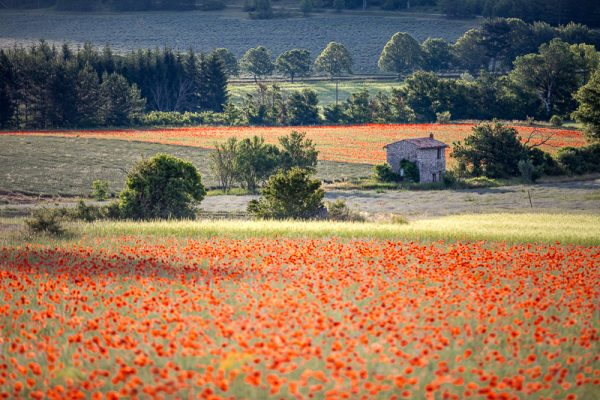 coquelicots, Provence