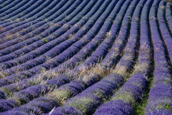 champ de lavande en fleur, Provence