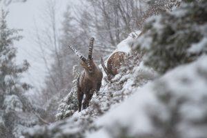 bouquetin en hiver, parc naturel régional de Chartreuse
