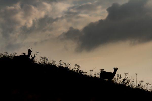 chamois en ombre chinoise au lever du jour, Chartreuse, Isère