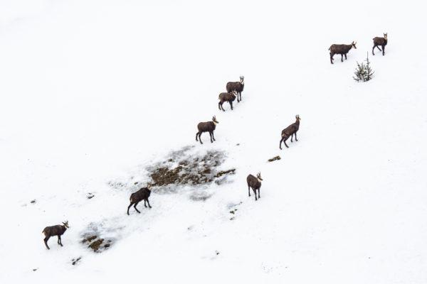 chamois en Chartreuse, stage photo nature en hiver